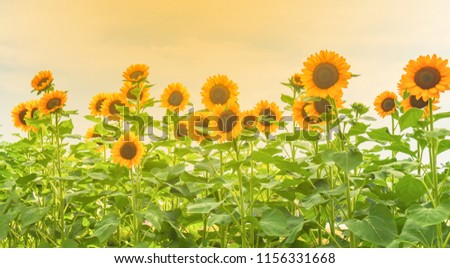 Sunflowers are blooming in the garden, the natural beauty of the season.  - Shutterstock ID 1156331668