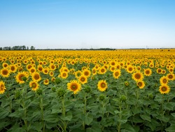 Sunflowers are Growing on the Big field. Wonderful panoramic view field of sunflowers by summertime. Long rows of nice yellow sunflower in the field under the blue sky. Black sunflower seeds.