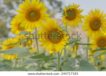 sunflowers at the field in summer on blue sky #244717183