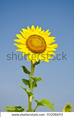 Sunflowers bloom in the autumn.