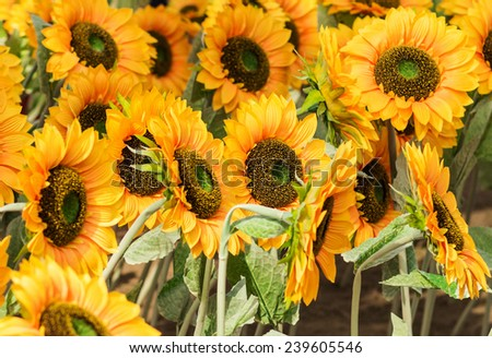 sunflowers Blooming in a field  #239605546