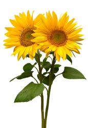 Sunflowers bouquet isolated on white background. Sun symbol. Flowers yellow, agriculture. Seeds and oil. Flat lay, top view. Bio. Eco. Creative