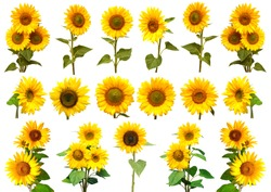 Sunflowers collection on the white background. Yellow flower. Seeds oil. Flat lay, top view. Bio. Eco