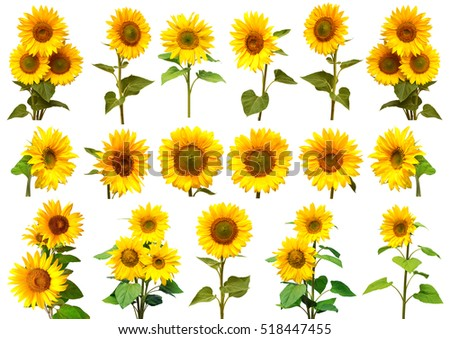 Sunflowers collection on the white background. Yellow flower. Seeds oil. Flat lay, top view. Bio. Eco #518447455