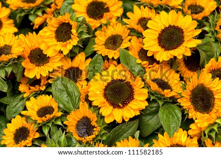 sunflowers field #111582185