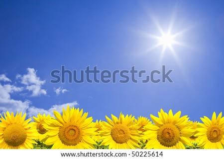 Sunflowers field against sunny blue sky