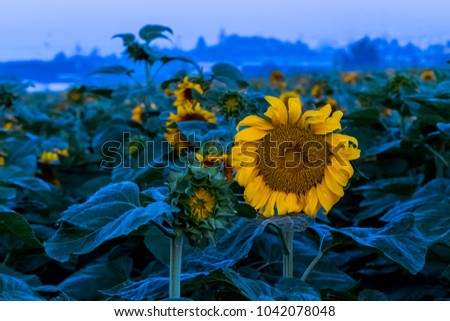 Sunflowers field at blue hour #1042078048