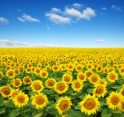 sunflowers field on sky background