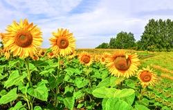 Sunflowers field summer scene. Sunflower field. Sunflower flowers view. Sunflowers field view