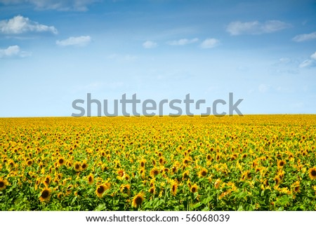 sunflowers field under the blue sky