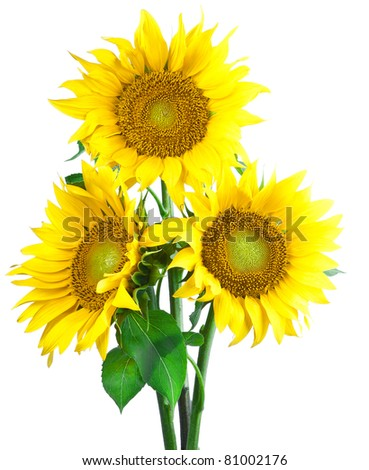 sunflowers flower on a white background