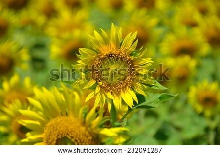 sunflowers flowers yellow background green nature
