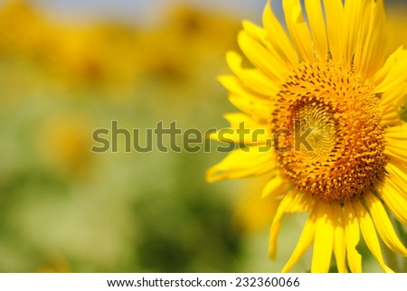 sunflowers flowers yellow green background nature - Shutterstock ID 232360066