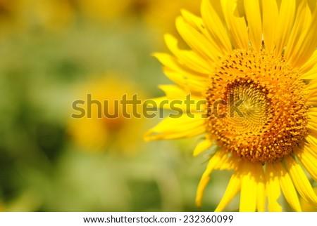 sunflowers flowers yellow green background nature - Shutterstock ID 232360099