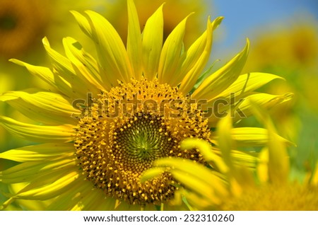 sunflowers flowers yellow green background nature wallpaper