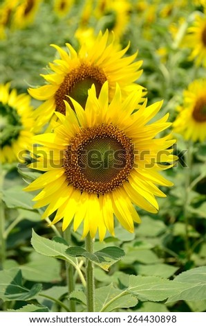 sunflowers flowers yellow wall background nature outdoor wall blossom summer farm garden