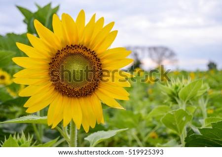 Sunflowers garden. Sunflowers have abundant health benefits. Sunflower oil improves skin health and promote cell regeneration. #519925393