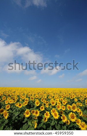 Sunflowers group on blue Sky