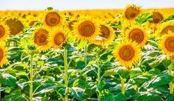 Sunflowers growing in North Dakota
