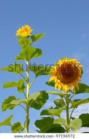 Sunflowers have always come in different sizes
