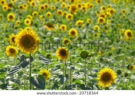 Sunflowers in a field of sunflowers
