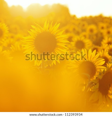 sunflowers in evening backlight