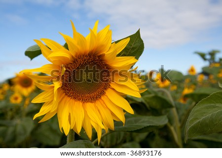 Sunflowers in field
