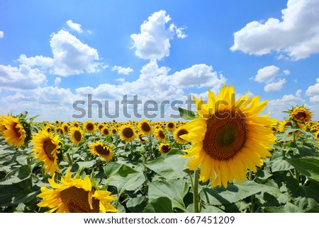Sunflowers in front of cloudy blue sky