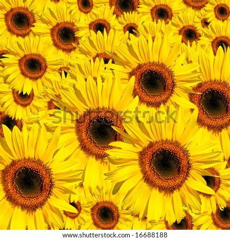Sunflowers in full bloom in summer forming a background.