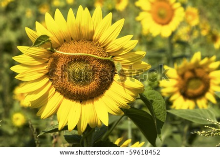 Sunflowers in glow of early morning sunlight