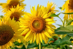 sunflowers in the garden, flowers image