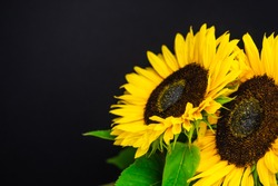 Sunflowers isolated on the black background. Space for text