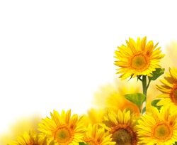 sunflowers isolated on white