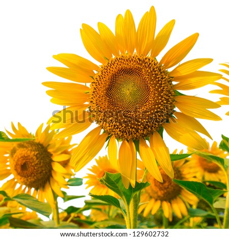 Sunflowers isolated on white background with clipping path
