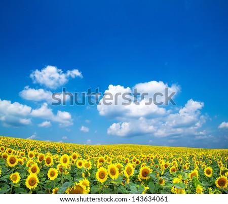 sunflowers on a blue sky