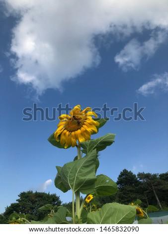Sunflowers on a sunny day, Bolu - Turkey Stok fotoğraf ©