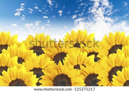 Sunflowers on cloudy blue sky