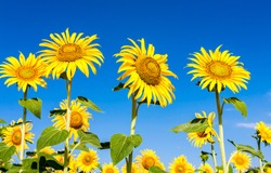 Sunflowers on summer blue sky. Sunflowers. Summer sunflower field. Sunflower on blue sky