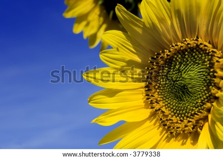 Sunflowers over a blue sky. That photo include the typical yellow in the petals and green heart.