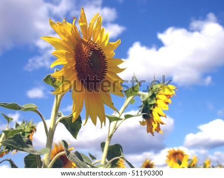 stock-photo-sunflowers-shallow-dof-51190300.jpg