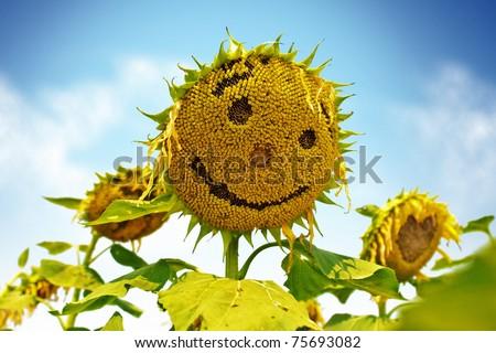 Sunflowers smile. - Shutterstock ID 75693082