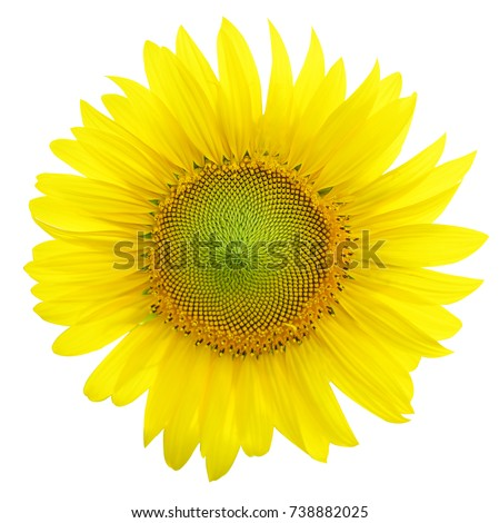 Sunflowers,Sunflowers blooming against a bright sky,Sunflowers,Sunflowers blooming on white background. #738882025