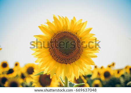 Sunflowers texture and background for designers. Macro view of sunflower in bloom. Organic and natural flower background.