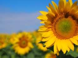 sunflowers turned to the sun