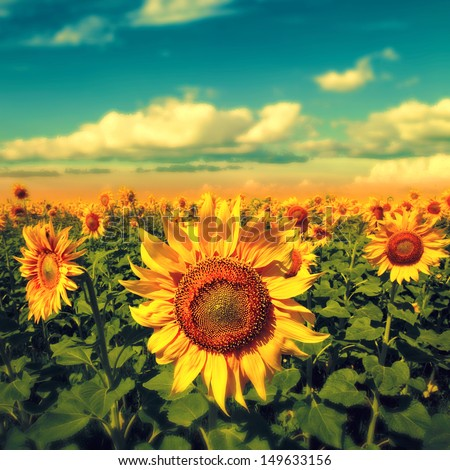 sunflowers under the blue sky....