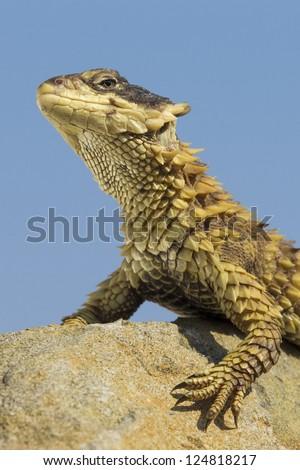 Sungazer Lizard (Cordylus giganteus) sunbathing on a rock in South Africa