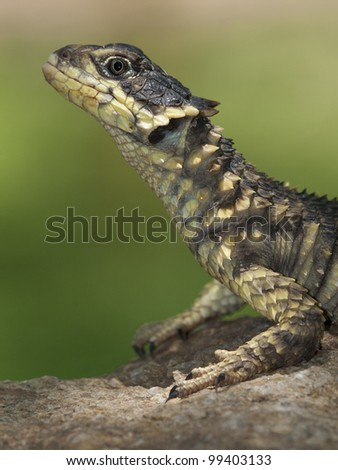 Sungazer or Girdled Lizard (Cordylus giganteus), South Africa