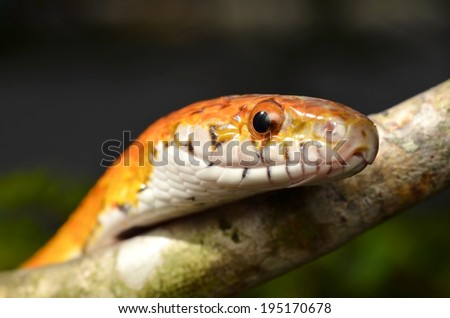 Sunkissed Corn Snake close up eye and detail scales