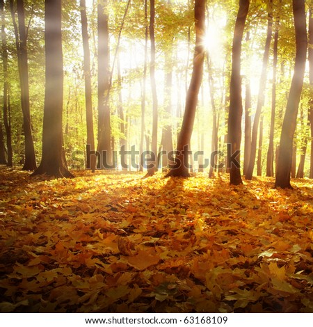 Sunlight and autumn forest.