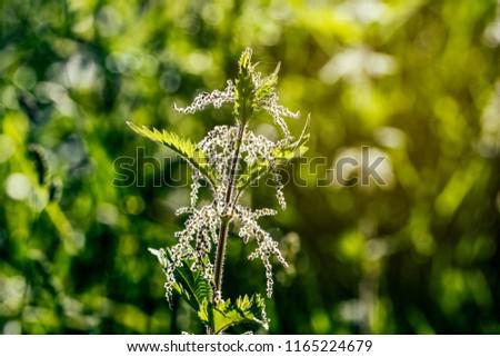 Sunlight back light of wild stinging nettle